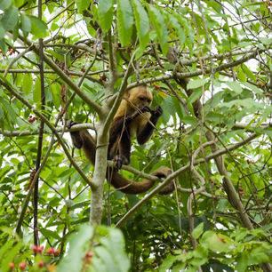 Een aapje verscholen tussen de takken In Tayrona National Park