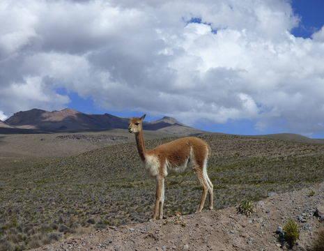 Lamas-spotten-in-de-bergen(12)