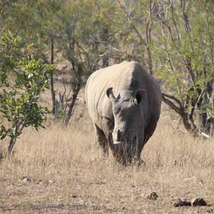 Een neushoorn in het Krugerpark in Zuid-Afrika