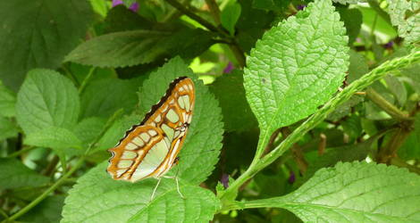 Panama-Valle-de-Anton-vlinder