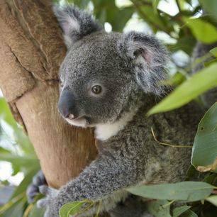 Australie-Townsville-Magnetic-Island-koala