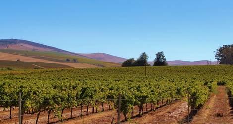 Zuid-Afrika-Wijngaard