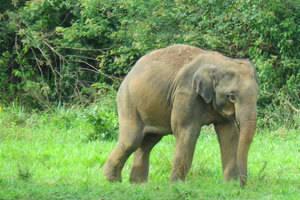 Pranburi, Wilde olifanten in het Kuiburi National Park