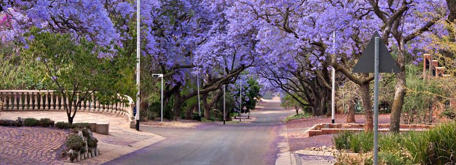 In oktober kleurt de stad paars van de jacarandabomen die in bloei staan, Pretoria, Zuid-Afrika