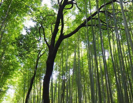 Azie-Japan-Kyoto-Arashiyama Bamboo Grove_1_322231
