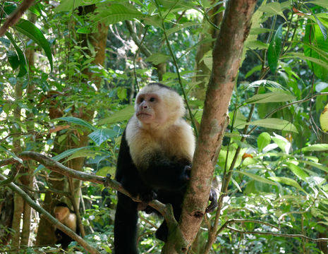 Manuel-Antonio-13-Capuchin-Monkey(5)