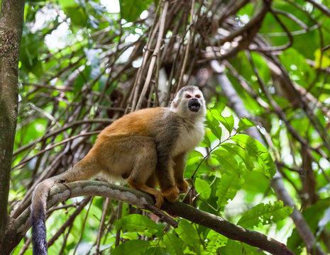 Manuel-Antonio-6-Squirrel-Monkey_1_390119