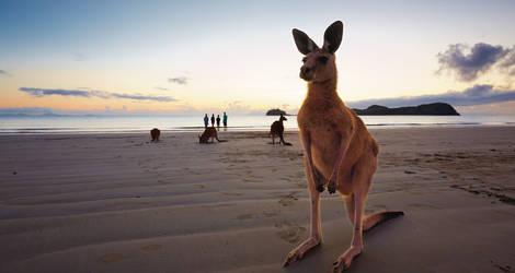 Australie-Whitsunday-Kangoeroe
