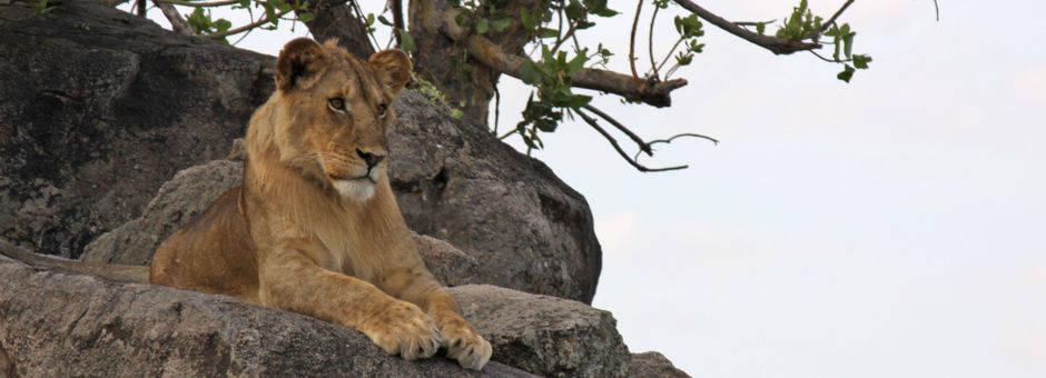 Tanzania-Serengeti-Leeuw2(2)
