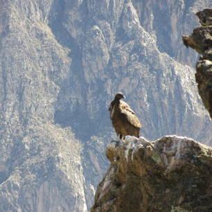 Spot-de-enorme-roofvogels-in-de-Colca-Canyon(10)