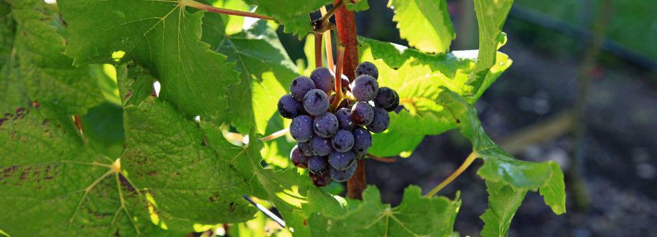 Chili-Maipo-Vallei-druiven_2_430249