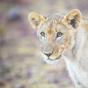 Etosha safari leeuw (11)