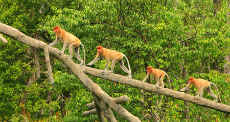 Neusapen in het Sukau National Park