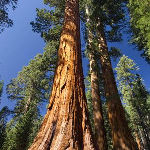 Yosemite-Sequoiabomen-Mariposa-Grove
