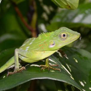 Borneo-groenreptielmetinsect(8)