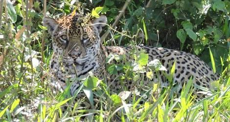Spot een jaguar in Madidi National Park - Bolivia