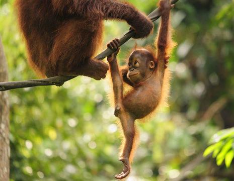 Apen-borneo-moederenkind