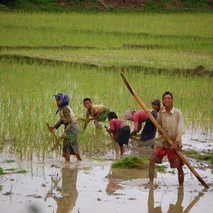 Laos-VangVieng-Rijstveld-Werken(2)