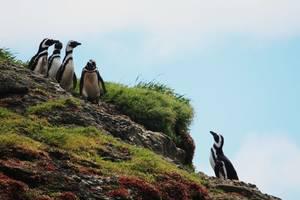 Chiloé eiland met pinguïns