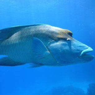 Australie-Great-Barrier-Reef-Napoleon-vis