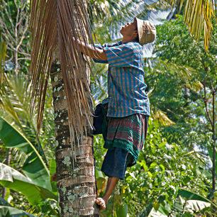 Indonesie-Lombok-Tetebatu-meneerinboom_1