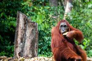 Indonesie-Kalimantan-orang-oetan-7
