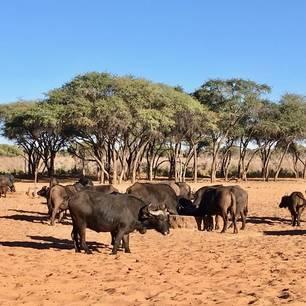 Namibie-Waterberg-Plateau-Buffels