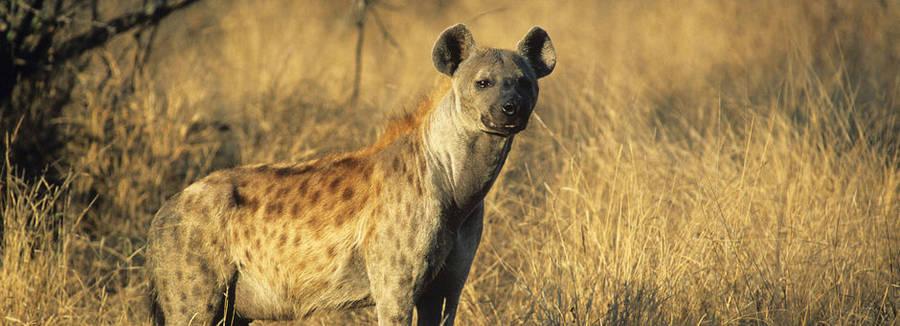 Hyena in Zuid-Afrika