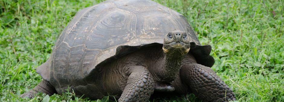 Landschildpad op Galapagos