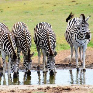 Addo-Elephant-Park-zebra