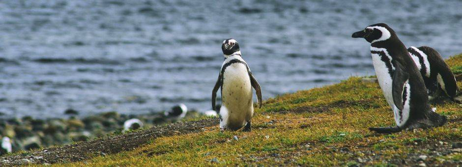 Chili-Isla-Navarino-Pinguins