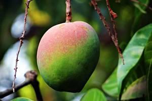 Chocolade en mango proeven