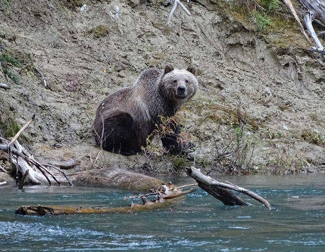 Canada-Grizzlybeer_2_506635