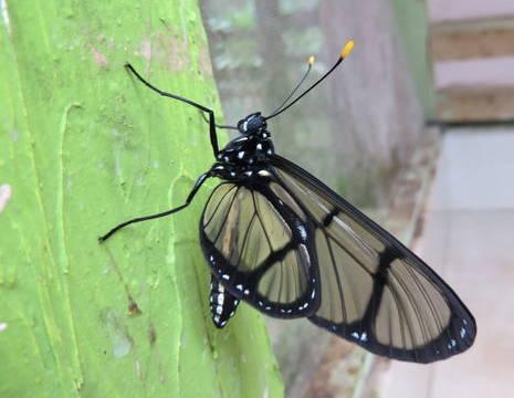Ecuador-Mindo-vlinder