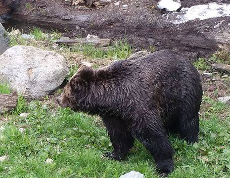 Canada-Vancouver-Grouse-Mountain-Grizzly
