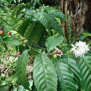Indonesie-Java-koffie