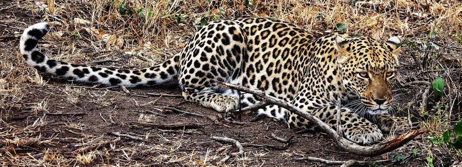 Zuid-Afrika-Luipaard-Loeren