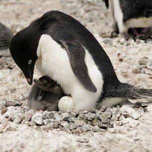 Antarpply-bayb-pinguin-Claudio-Suter