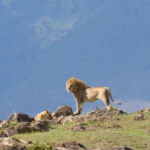 Tanzania-Ngorogoro-krater-7-leeuw_1_363170