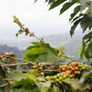 Koffie is de belangrijkste bron van inkomsten in Colombia