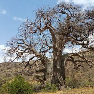 Tanzania-Ngorongoro-baobab(2)