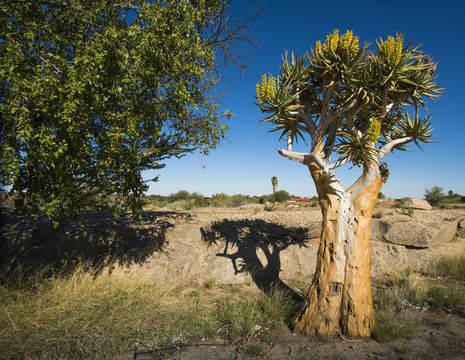 Kokerbomen in het Noorden van Zuid-Afrika, Kgalagadi Transfrontier Park