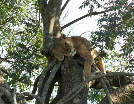 Kenia-Lake-Nakuru-Leeuw