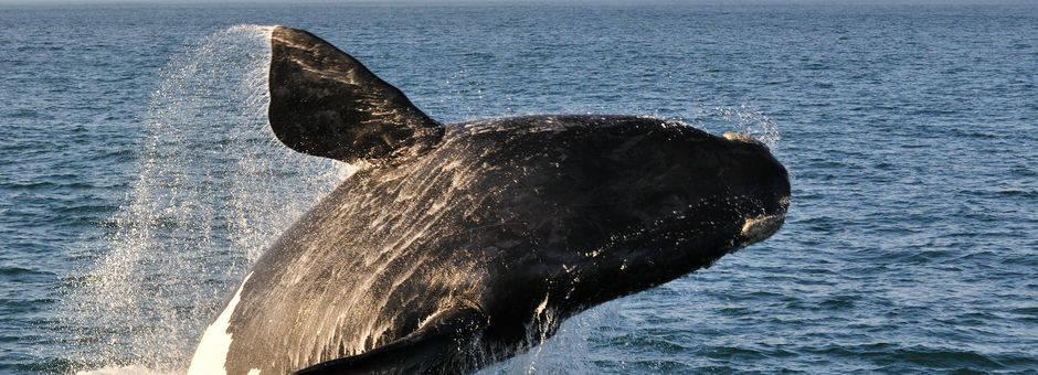 Geweldige close-up van een walvis in de walvissen hoofdstad Hermanus, Zuid-Afrika