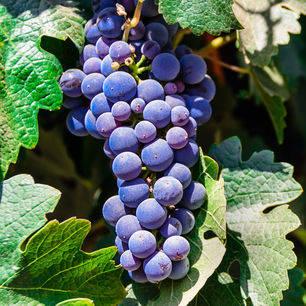 Chili-Maipo-Valley-druivenrank_1_430268