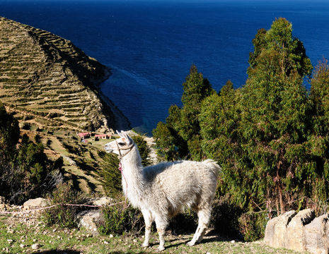Bolivia-Titicacameer-alpaca-uitzicht_1_356372