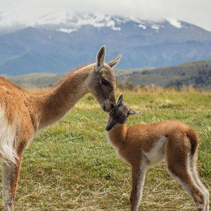 Chili-Torres-del-Paine-baby-guanaco-chulengo-and-its-mother