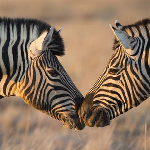 Etosha NP zebra's shutterstock_149228510(10)