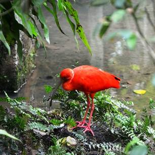 knalrodevogel(8)