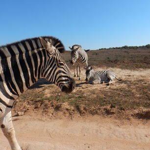 Addo-National-Park-Zebra_1_345977